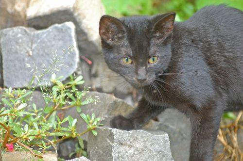 cat black black cat