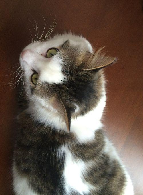cat calico feline