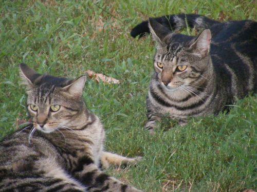 cat feline animals