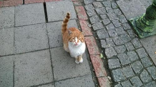 cat orange cat felis domesticus
