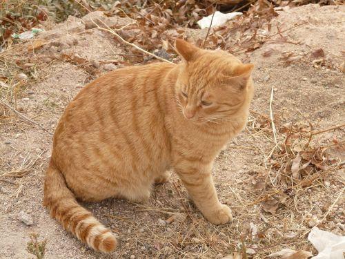 cat red animal