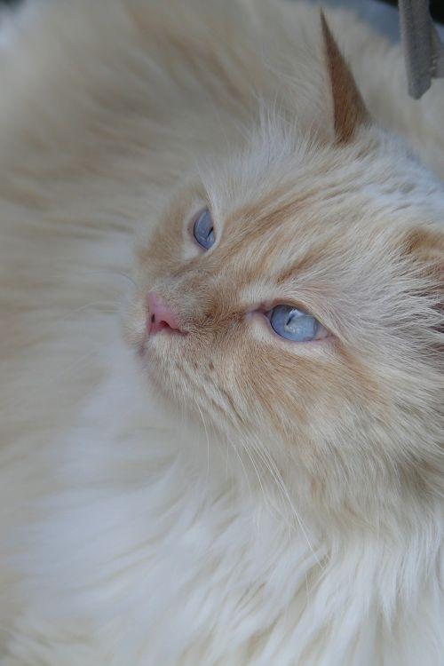 katė,mėlyna akis,gyvūnai,katės akys,kačių veido,pagrindinė dalis,naminis katinas