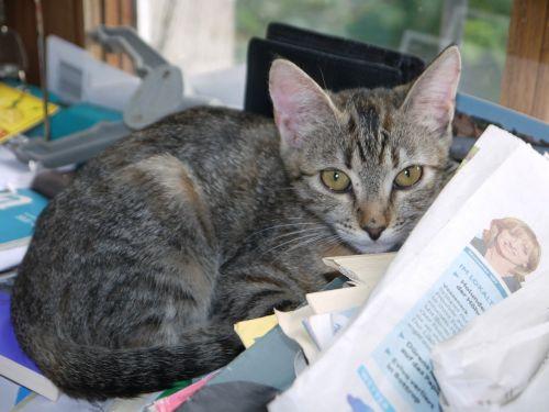 cat baby grey