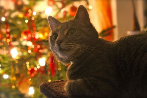 cat christmas contemplative