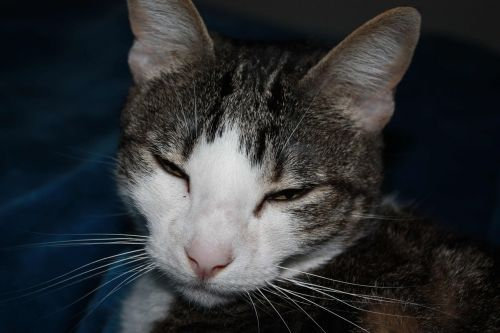 cat feline gray