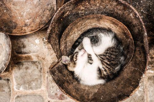 katė,miega,pavargęs,gyvūnai,mielas,naminis gyvūnėlis,vidaus,žavinga,miegoti,kailis,purus,mažai,laimingas,ruda,balta,atsipalaidavimas,jaukus,mielas