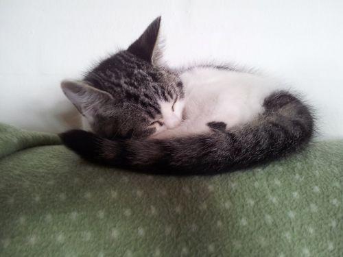 cat kitten dear