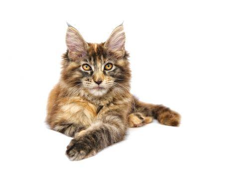 katė,gyvūnas,naminis gyvūnėlis,maine coon,pagrindinė dalis