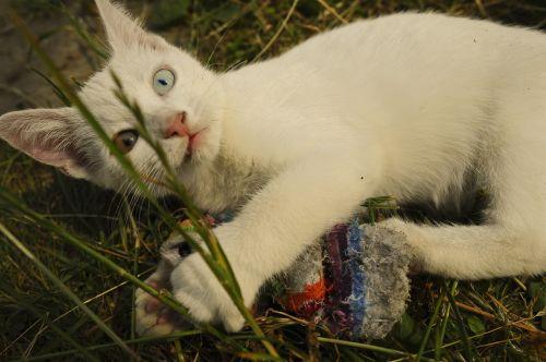 cat white odd-eye