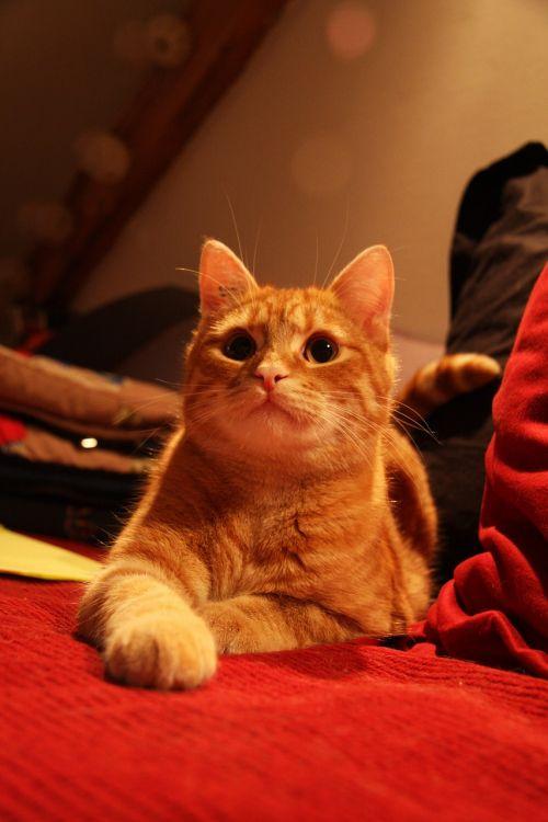 cat roux lying