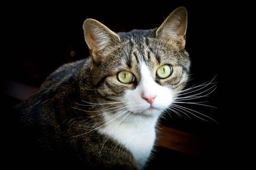 katė, purus, kačių, mielas