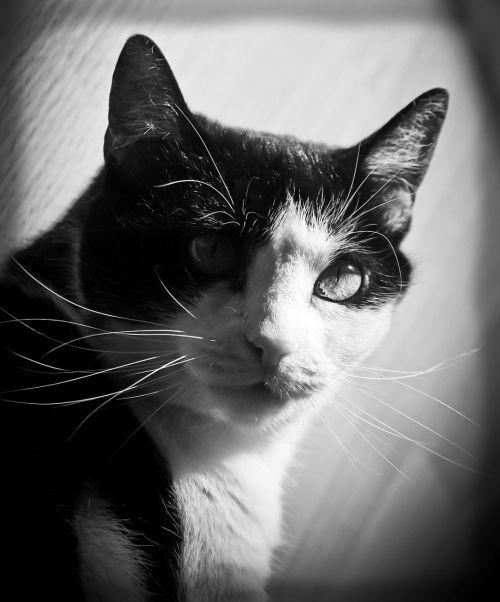 katė, kačių, kačiukas, gyvūnas, naminis gyvūnėlis, vidaus, kailis, juoda, balta