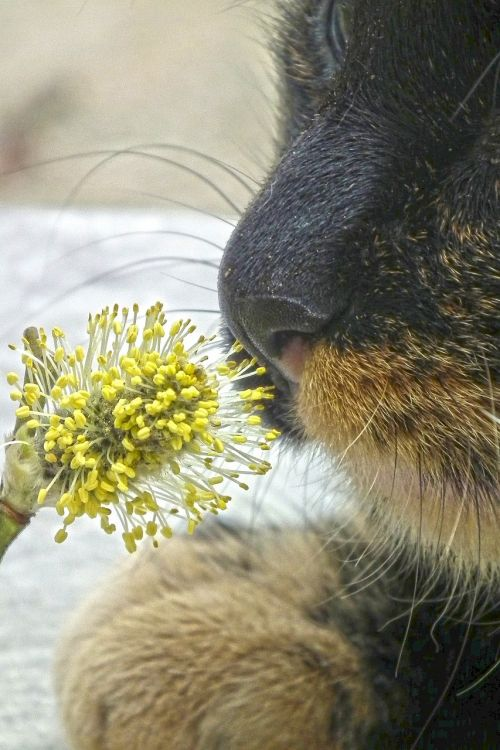 cat willow catkin animal