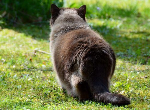 cat on the lurking british shorthair
