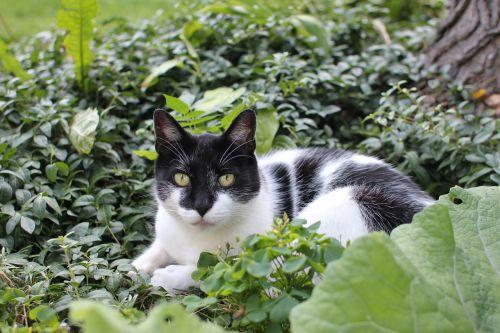 cat black white