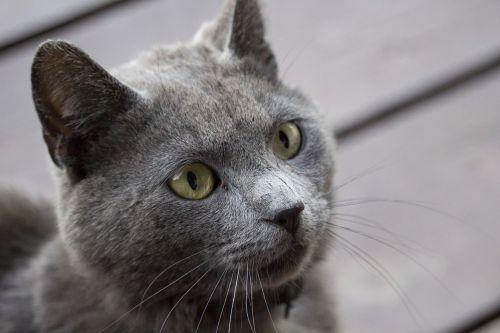 cat gray pet