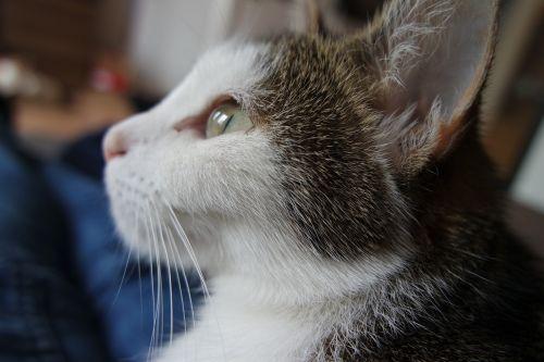 cat pet cat face