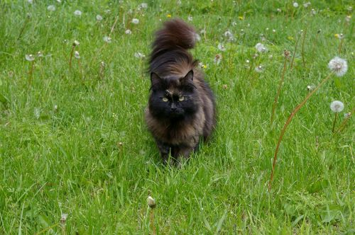 cat long-haired dandelions