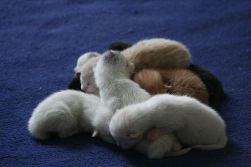cat domestic cats ekh