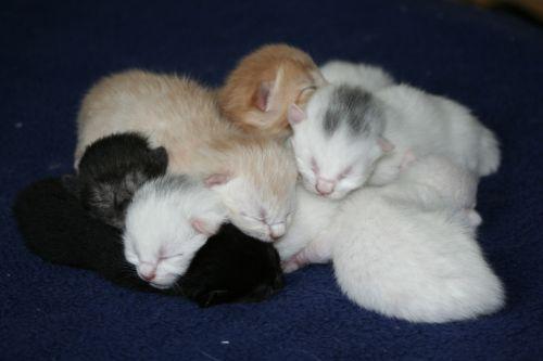 cat domestic cats kitten
