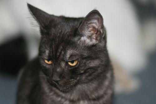 cat domestic cat ekh