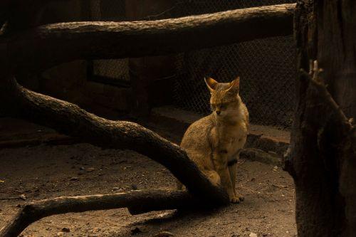 cat wood shy