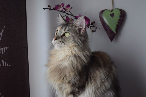 cat main coon maine coon