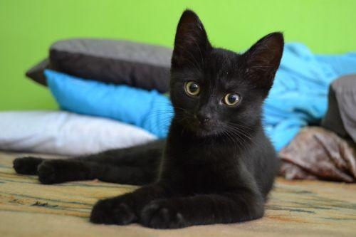 cat kitten black