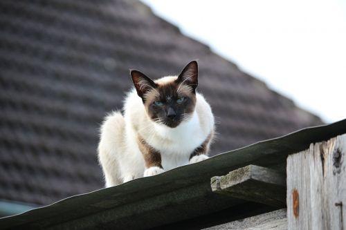 cat siamese cat sheet metal roof