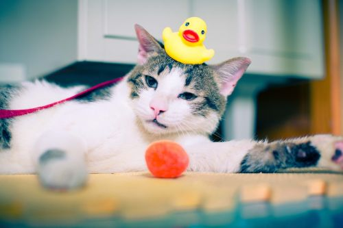 cat rubber duck duck