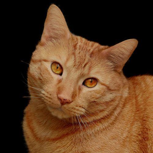 cat feline orange