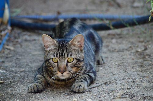 cat stalking hunter