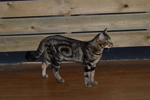 cat black feline