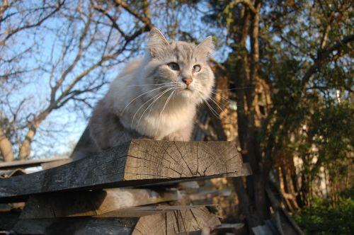 katė,lenta,katė sėdi,pavasaris,katė ieško,katė ir dangus,housecat,graži katė,eyed cat