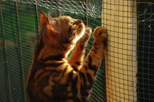 katė,бенгальский,saulėtas