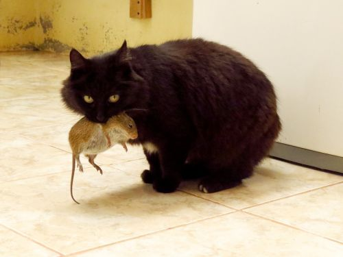 cat animals mouse