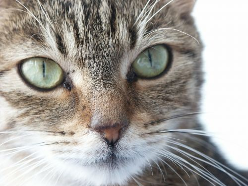 cat eyes animal