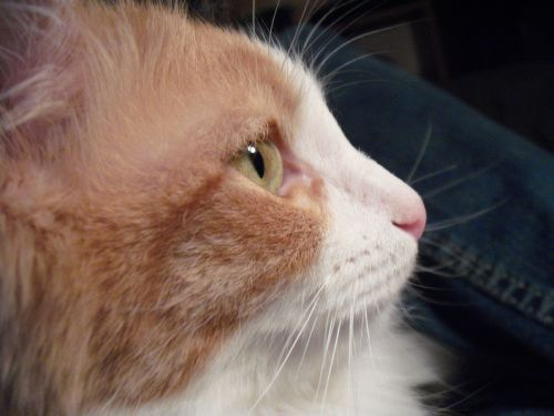 cat kitten calico