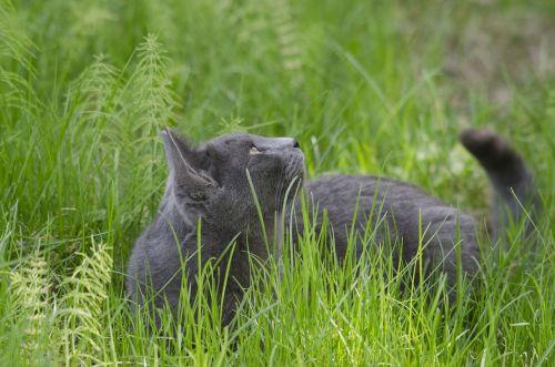 cat gray animal