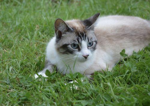 cat blue eyes feline animal