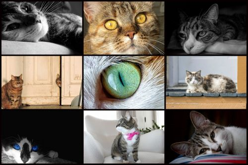 cat collage kitties looking