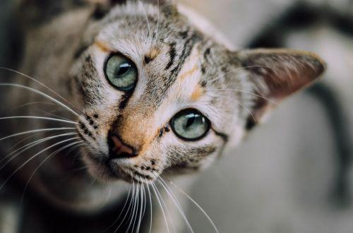 cat face tortoiseshell cat
