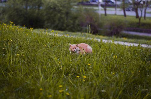 cat in grass dandelions cat