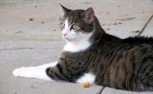 Cat Lying On Sidewalk