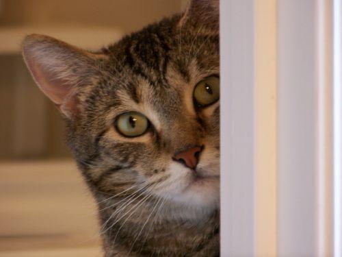 Cat Peeking Around Corner