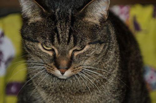 cat pets cat domestic cat