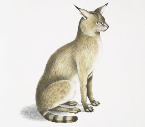 felis chaus affinis himalayan jungle cat cat sitting