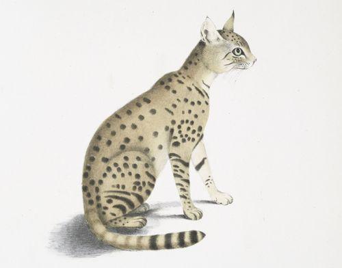 asiatic wildcat felis ornata asian steppe wildcat