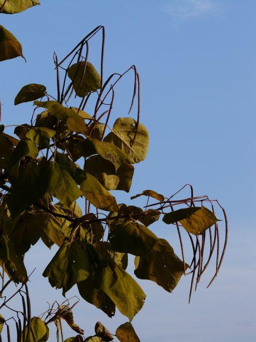 catalpa pods light green