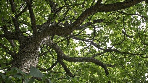 catalpa  catalpa tree  tree